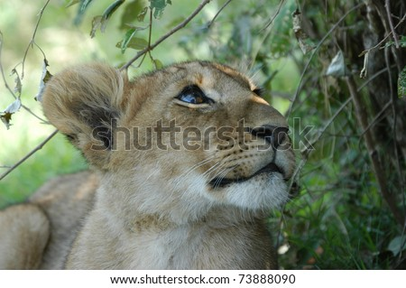 A young lion cub looking at tree - stock photo