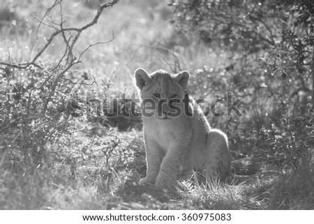 A young lion cub. Photo taken on safari in South Africa. - stock photo