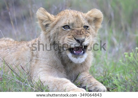 A young lion cub showing off his teeth. Photo taken on safari in South Africa. - stock photo