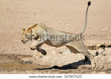 A young Lion Jumping over a puddle of water in the Kalahari - stock photo