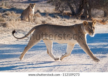 A young lioness lopes across the road as an old lioness watches - stock photo