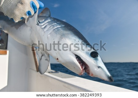 A young mako shark being released from the side of a boat - stock photo