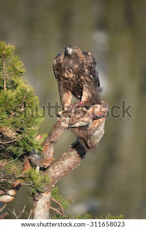 A young male Golden Eagle feeding on a Pine Marten on the branch of a gnarled pine tree. - stock photo