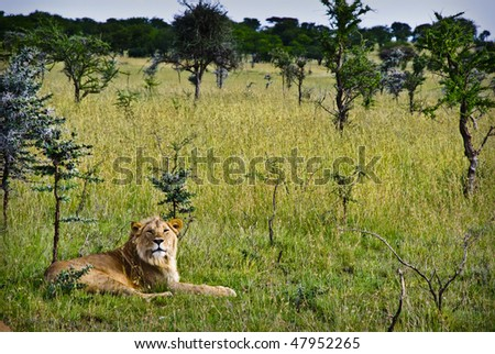 A young male lion resting in bush in the serengeti - stock photo