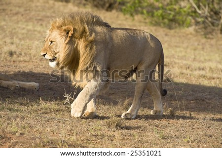 A young Male Lion walks near the vehicle - stock photo