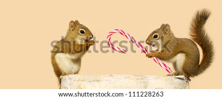 A young male squirrel offering a candy cane at Christmas time to a  happy looking pretty little female while perched on a log in the winter, with copy space. Part of a series. - stock photo