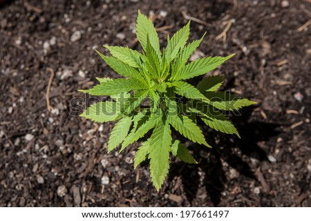 A young marijuana plant, just a month old, grows outdoors. Marijuana, in small quantities, is now considered a legal substance in some U.S. states. It is used medicinally and recreationally. - stock photo