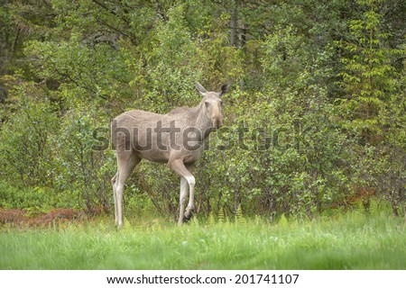 A young moose stands watching the photographer from the bank of a small island, as the boat carrying the camera drifts close. - stock photo