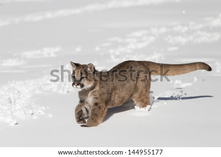 A young Mountain Lion running in the snow - stock photo