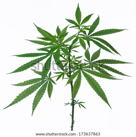 A young new growing cannabis (marijuana) plants isolated on white - stock photo