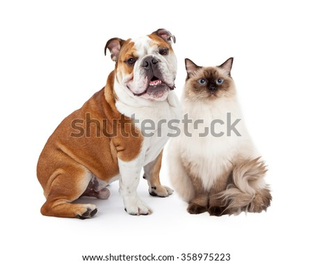 A young nine month old English Bulldog and a beautiful Ragdoll cat sitting together against a white background and looking at the camera - stock photo
