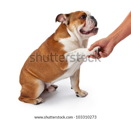 A young nine month old English Bulldog sitting against a white background and shaking hands with a man - stock photo
