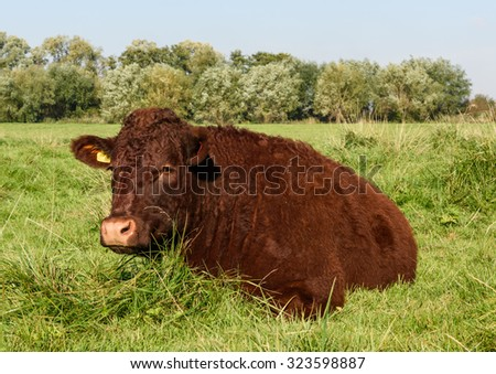 A young pedigree Devon Red (Ruby) bullock ruminates in the morning sunshine. - stock photo