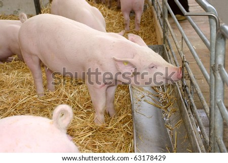 A young pig drinking water - stock photo