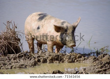 A young pig in the mud of a pool - stock photo