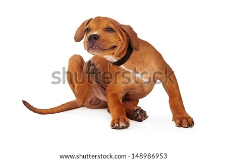 A young Pit Bull puppy scratching an itch. Intentional motion blur to show action. - stock photo