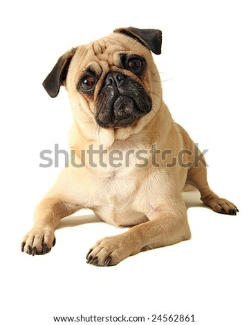 A young pug sits pretty - stock photo