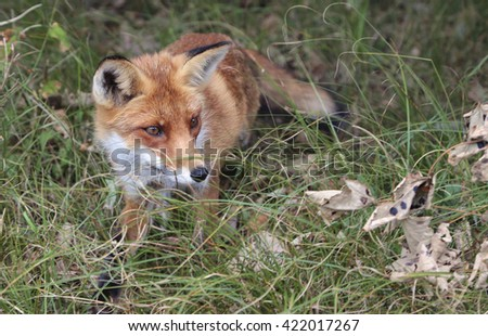 A young red fox - stock photo