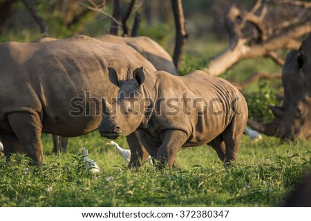 A young Rhino teenager grazing - stock photo