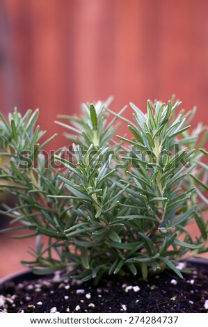 A young Rosemary plant is growing in a pot outside with stockade fence in background. - stock photo