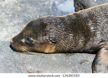 A young Sea Lion rests on the rocky shoreline of the Galapagos Islands - stock photo