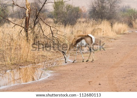 A young springbok antelope drinking from a roadside puddle following a rain shower, in Pilanesberg National Park, South Africa. - stock photo