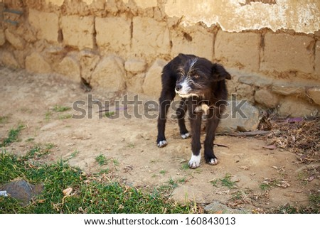 A young stray dog on the streets of Peru. - stock photo