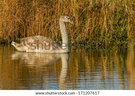 A young swan floating in a lake in the Netherlands. - stock photo