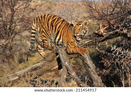 A young tiger resting on a fallen tree trunk - stock photo