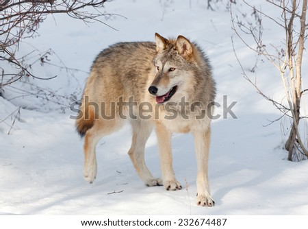 A young timber wolf walking through a wooded area covered in snow with afternoon shadows. - stock photo