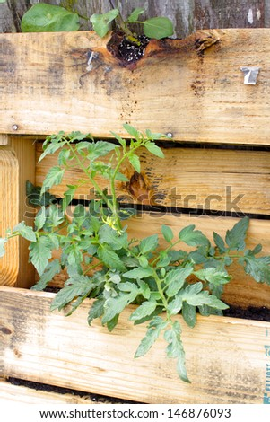 A young tomato plant growing in a slightly modified wooden pallet. - stock photo