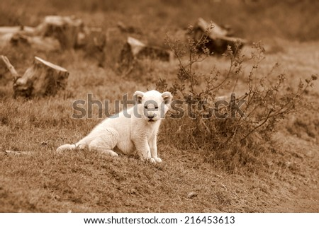 A young white lion cub isolated in this sepia tone image. - stock photo