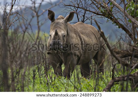 A young white rhinoceros in a game park. - stock photo