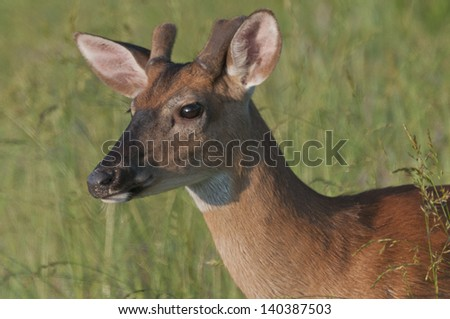 A young White-tailed Deer (Odocoileus virginianus) buck along the Cades Cove loop road at sunrise. Great Smoky Mountains National Park, Tennessee; North Carolina. - stock photo