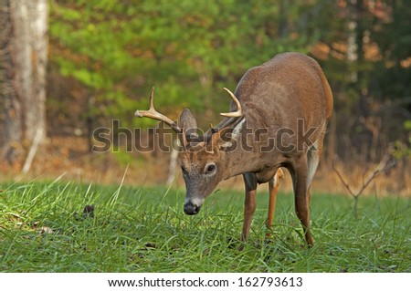A young White Tailed Deer slowly wanders along while eating grass. - stock photo