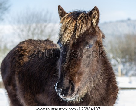 A young wild mountain pony in the snow - stock photo