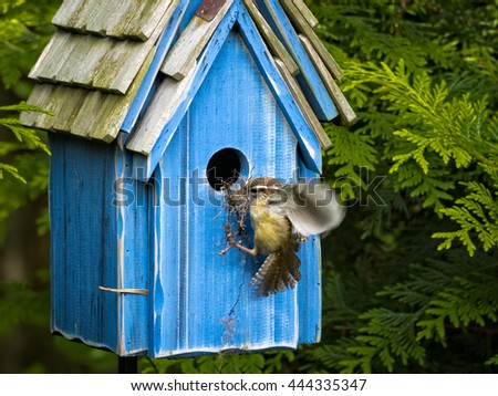 A young wren building a nest in a birdhouse. - stock photo