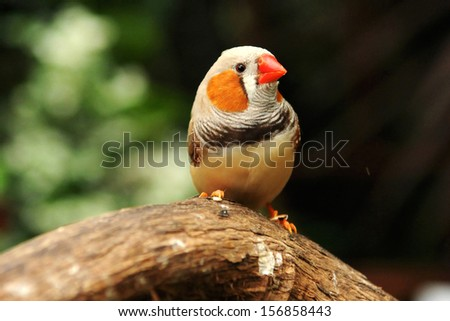 A Zebra Finch poses on the branch - stock photo