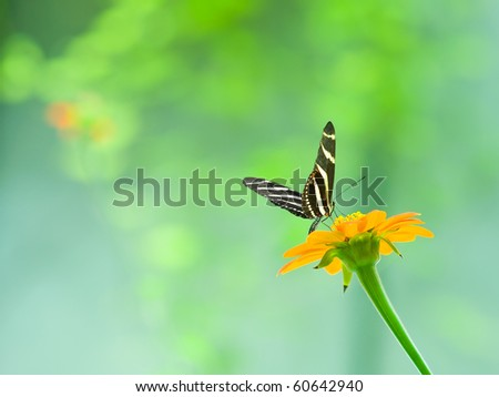 A zebra longwing butterfly perched on a brilliant orange flower - stock photo