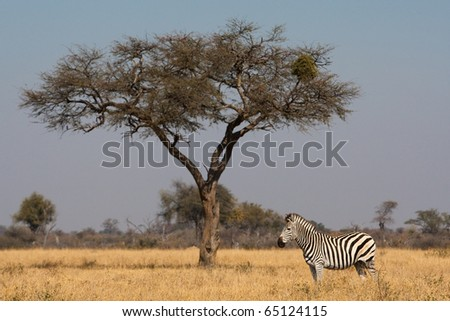 A zebra standing next to a tree - stock photo