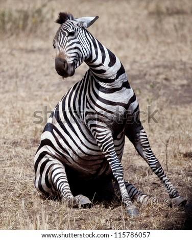 A zebra struggles to give birth in Serengeti National Park, Tanzania. - stock photo