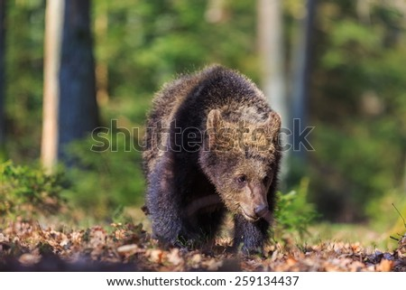 abandoned cub brown bear in the forest - stock photo