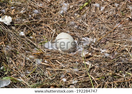 Abandoned swan egg in the nest  - stock photo