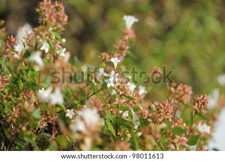Abelia flower,low angle view - stock photo