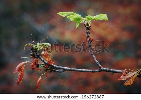 Abnormal phenomenon - new chestnut leaves in fall - stock photo