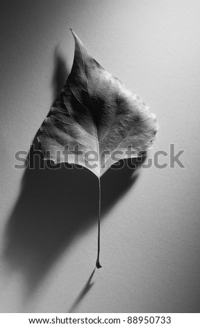 Abstract autumn composition with an old leaf with an elegant shadow in a minimalism style. Black and white photo. - stock photo