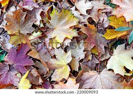 abstract background of autumn leaves of maple - stock photo