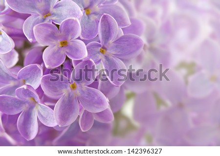 Abstract background with close up panicle of blooming purple lilac flowers DOF - stock photo