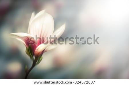 Abstract blurred flowers. Intentional motion blur. Soft focus image of blossoming magnolia flowers in spring time. Shallow DOF - stock photo