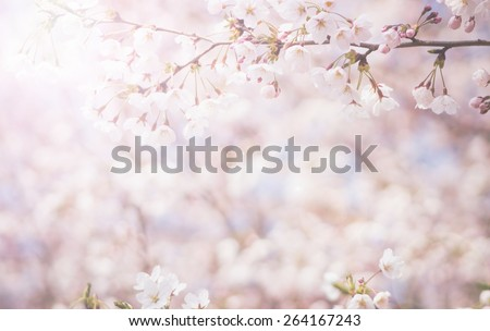 abstract cherry blossom  [Soft focus, Background] - stock photo